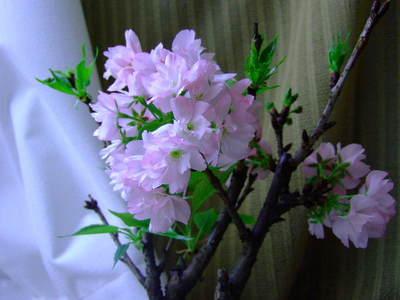 2009_0415sakuramankai0005